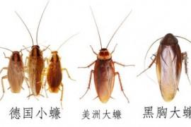 和蟑螂很像的虫子,怎么判断是不是蟑螂?