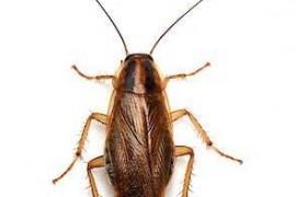 德国小蠊是蟑螂吗?