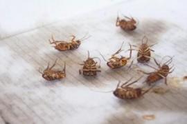 为什么蟑螂吃了蟑螂药没有马上死掉?