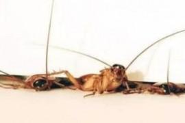 用东西盖住蟑螂为什么会消失不见