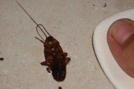 为什么蟑螂吃了蟑螂药后会翻过来