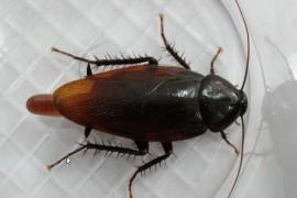 什么是黑胸大蠊,黑胸大蠊是蟑螂吗?
