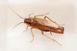 德国小蠊、德国小蟑螂长什么样的