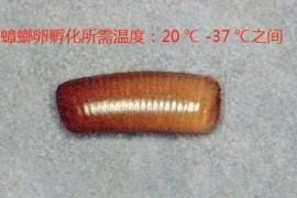冬天蟑螂的卵会不会孵化