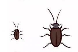 为什么广东的蟑螂那么大