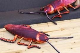 为什么家里只有小蟑螂没有看见大蟑螂