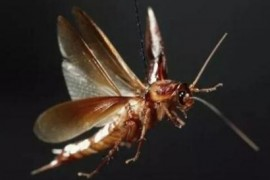 南方蟑螂为什么那么大还会飞