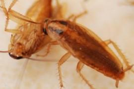 怎样彻底消除室内蟑螂