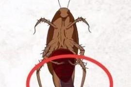 踩死蟑螂真的会生小蟑螂吗