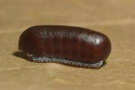 喷过杀虫剂的蟑螂卵会死吗