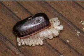 蟑螂卵是什么颜色