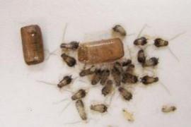 家里有一窝小蟑螂怎么办