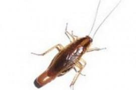 再小的蟑螂是不是都会有卵