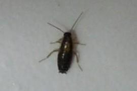家里有小蟑螂 是有窝吗