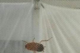 蚊帐里面有一只会飞的蟑螂怎么办