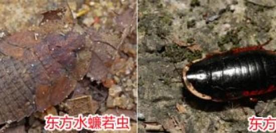 蟑螂图片:东方水蠊