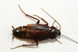 蟑螂图片:东方蜚蠊