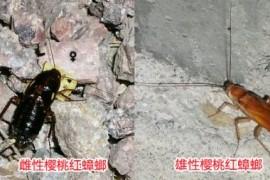 蟑螂图片:樱桃红蟑螂