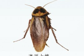 蟑螂图片:澳洲大蠊