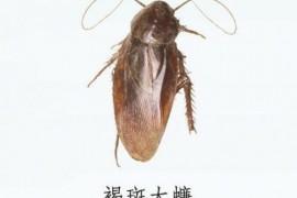 蟑螂图片:褐斑大蠊