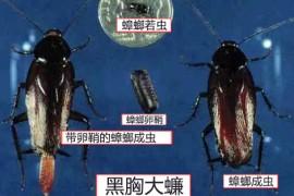 蟑螂图片:黑胸大蠊卵鞘、若虫、成虫的图片