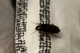 请问这是什么虫子,跟蟑螂很像,但感觉不是蟑螂?