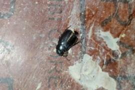 像蟑螂一样的虫子,这是什么虫子?