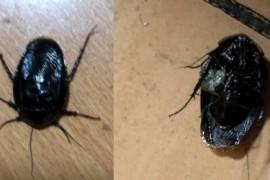 最近在家里发现的虫子,很像蟑螂,这是什么虫子啊?